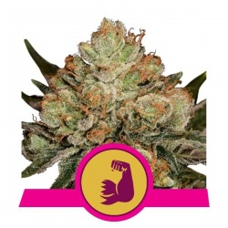 royal-queen-seeds-hulkberry_img_principale_37999