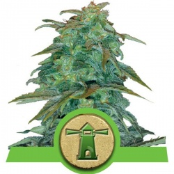 royal-queen-seeds-royal-haze-auto_24902