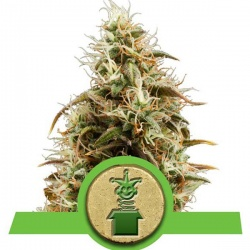 royal-queen-seeds-royal-jack-auto_25084