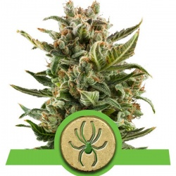 royal-queen-seeds-white-widow-auto_25081