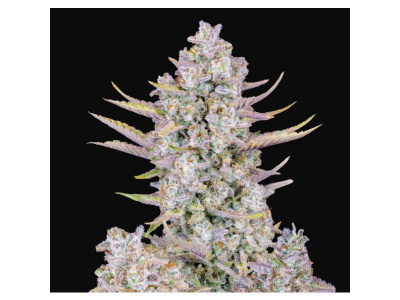 fast-buds-auto-purple-punch_img_principale_53834