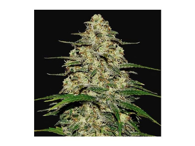 fast-buds-wedding-cheesecake-auto_img_principale_50554