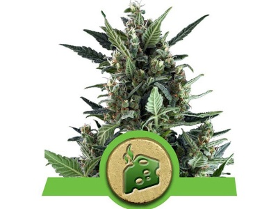 royal-queen-seeds-blue-cheese-auto_25077