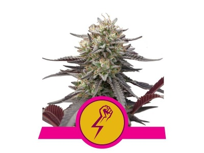 royal-queen-seeds-green-crack-punch_img_principale_50303