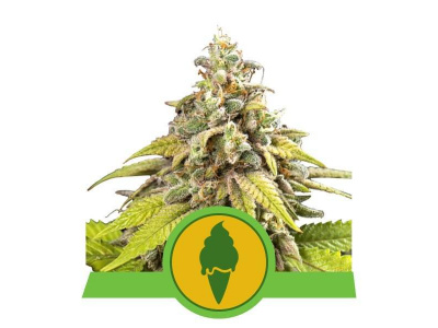 royal-queen-seeds-green-gelato-usa-auto_img_principale_50309
