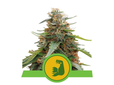 royal-queen-seeds-hulkberry-auto_img_principale_51096