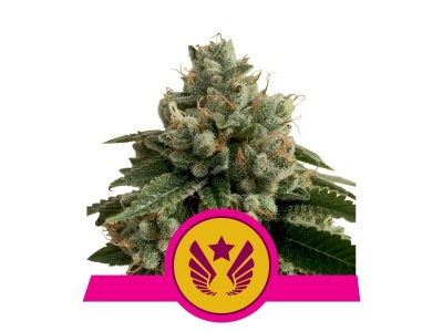royal-queen-seeds-legendary-og-punch-ex-legendary-punch-_img_principale_50302