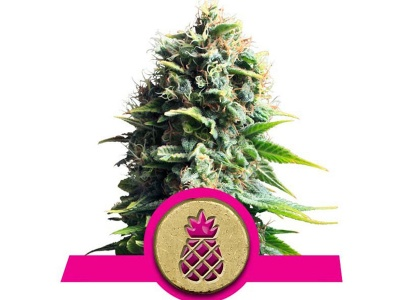 royal-queen-seeds-pineapple-kush_24880