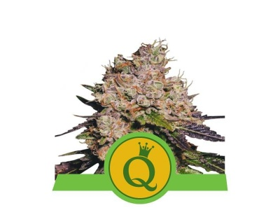 royal-queen-seeds-purple-queen-usa-auto_img_principale_50317
