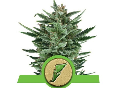 royal-queen-seeds-quick-one-auto_24898