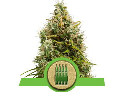 royal-queen-seeds-royal-ak-auto_24900
