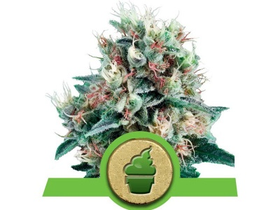 royal-queen-seeds-royal-creamatic-auto_24901