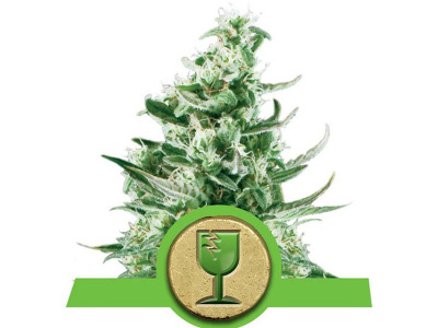 royal-queen-seeds-royal-critical-auto_25086
