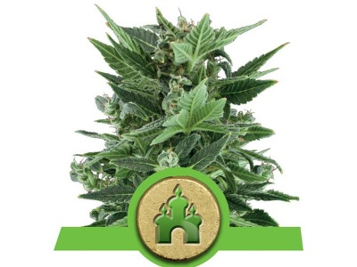 royal-queen-seeds-royal-kush-auto_24903