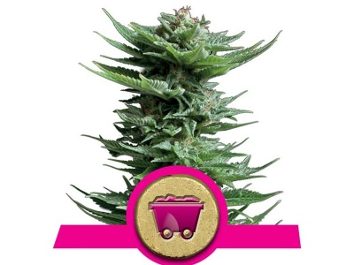 royal-queen-seeds-shining-silver-haze_25067