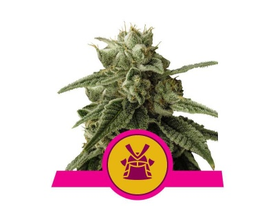 royal-queen-seeds-shogun_img_principale_50308