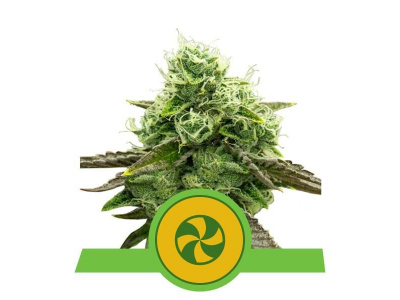 royal-queen-seeds-sweet-zz-usa-premium-auto_img_principale_50301